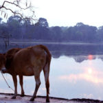 A Cow in Angkor, Siem Reap